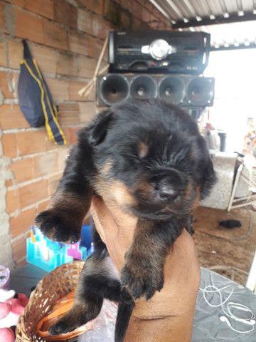 Rottweiler padrão alemão Araraquara watts * - Foto 3