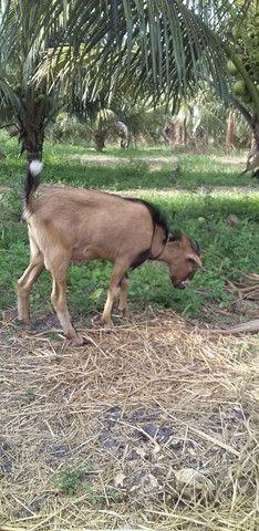Vendo bode e cabras - Foto 6