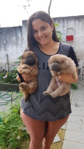 Filhotes Chow Chow - Foto 2