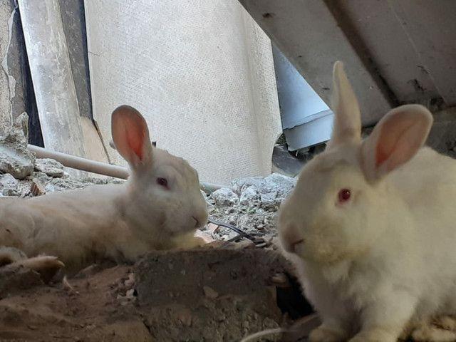 Vendo casal de coelhos e um  filhote. - Foto 2