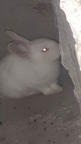 Vendo casal de coelhos e um  filhote. - Foto 5
