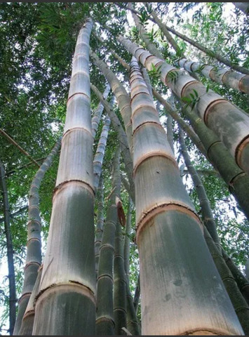 Bambú gigante - Foto 5