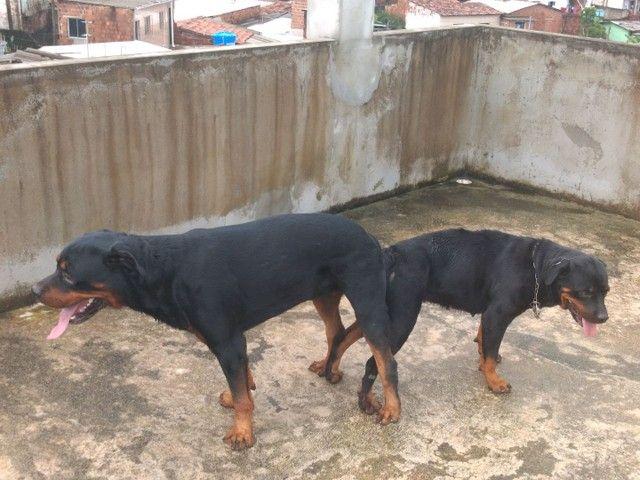 Rottweiler para cruzar - Foto 5