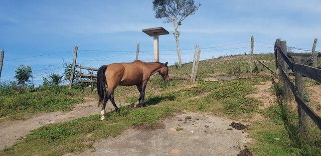 Egua Crioula Confirmada - Foto 3