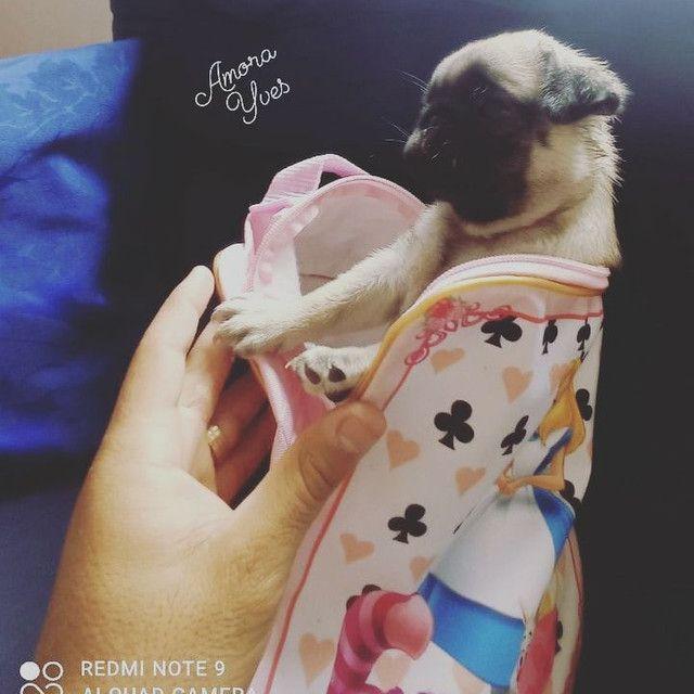 Pug fêmea com pedigree - Foto 2