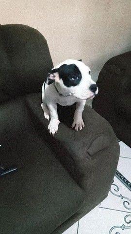 Vendo cadela América Bully  - Foto 2