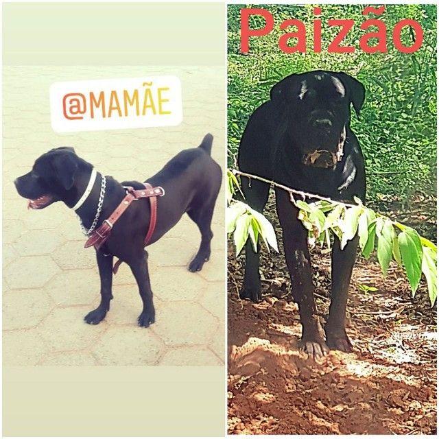 Cane corso pedigree, o Dog das celebridades,  Reserve o seu..  - Foto 2