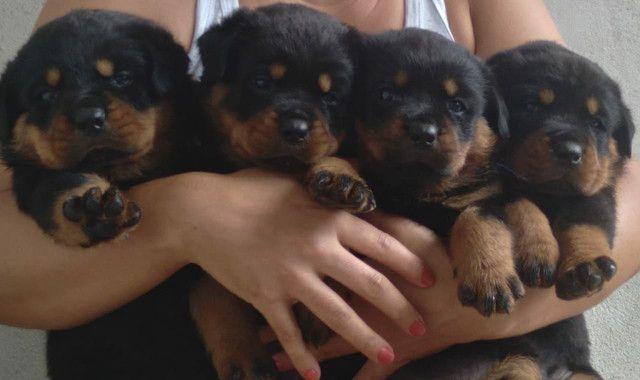 Filhotes Rottweiler! - Foto 5