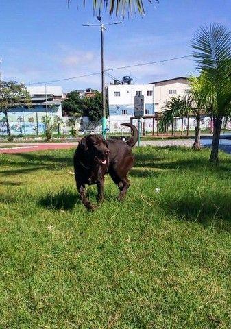 Labrador macho para cruzar - Foto 3