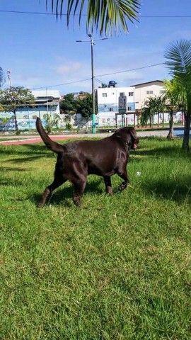 Labrador macho para cruzar - Foto 4