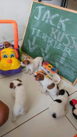 Lindos filhotes de Jack Russel Terrier - JRT