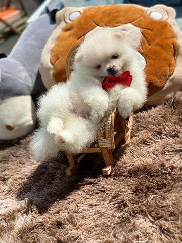 Spitz alemão  Ursinhos lindos Disponivel - Foto 3