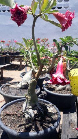 Pré bonsai rosa do deserto, flor dobrada