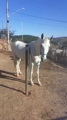 Vendo cavalo mangalarga macha batida tem 6 anos