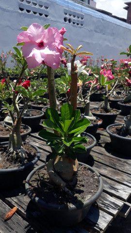 Pré bonsai rosa do deserto, flor dobrada - Foto 4
