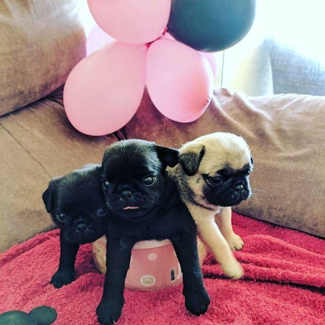 Pug fêmea com pedigree - Foto 3