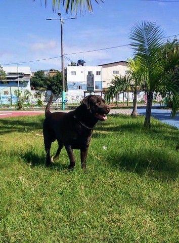 Labrador macho para cruzar - Foto 2