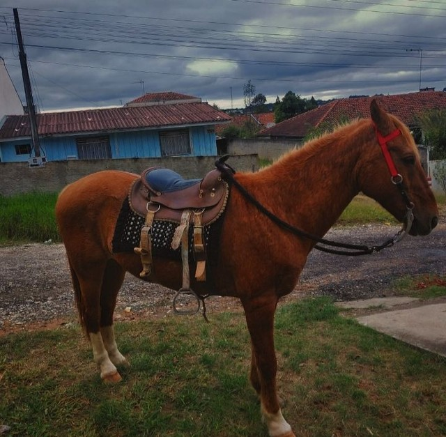 Cavalo mangalarga marchador  - Foto 2