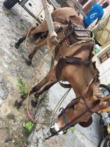 Burra mula e carroça