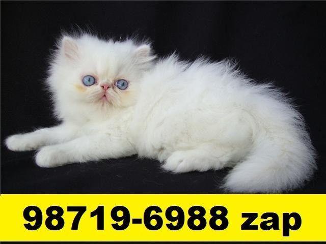 Gatil em BH Filhotes Gatos Persa Siamês ou Angora