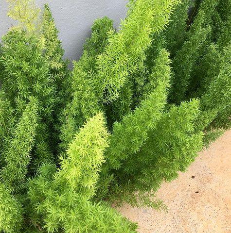 Plantas palmeiras e árvores - Foto 4