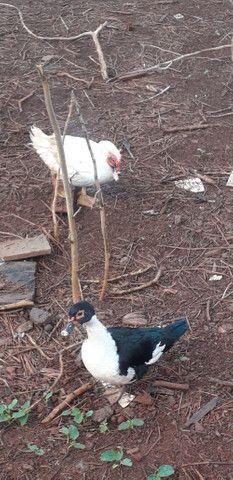 Pato e patas - Foto 2