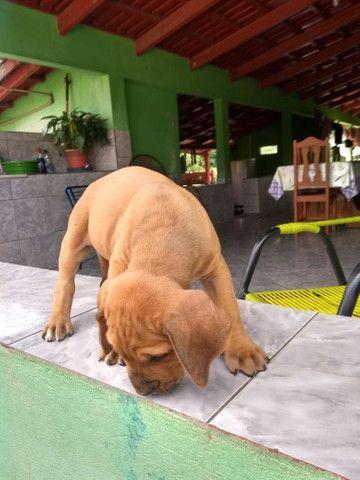 Cachorro fila - Foto 5