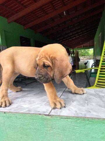 Cachorro fila - Foto 2