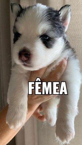 Vendo Lindos Filhotes de Husky Siberiano pelagem Wooly.  - Foto 3