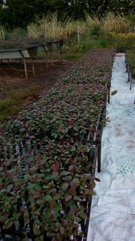 Muda eucalipto clonado - Foto 2