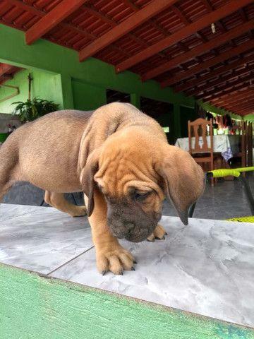 Cachorro fila - Foto 6