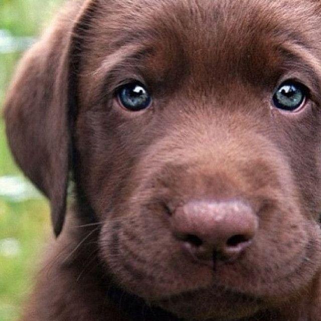 Labrador linhagem campeã! - Foto 3
