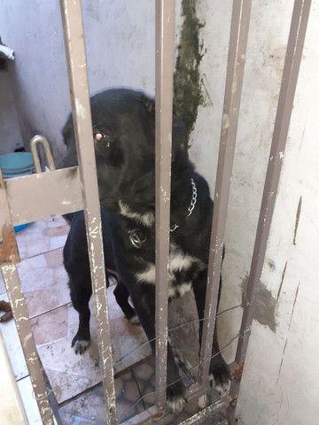 Vendo cachorro  porte  grande  - Foto 2