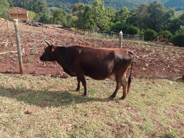 Vendo 2 vacas Jersey as duas prenhas. - Foto 6
