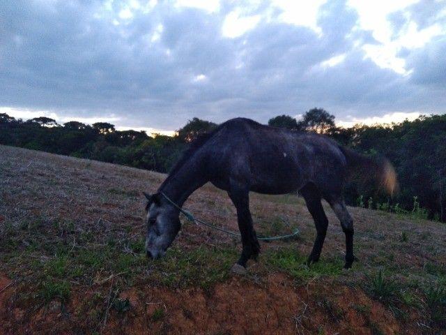 Cavalo... égua - Foto 2
