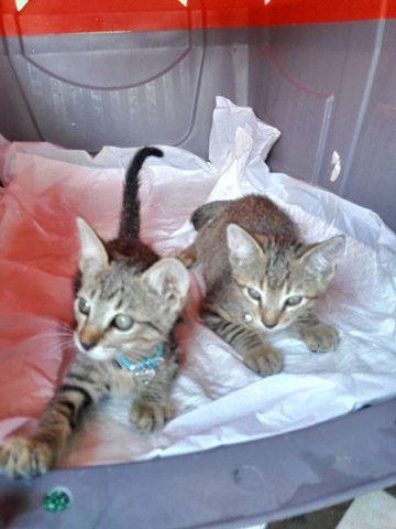 Adoção de gato filhote - Foto 6
