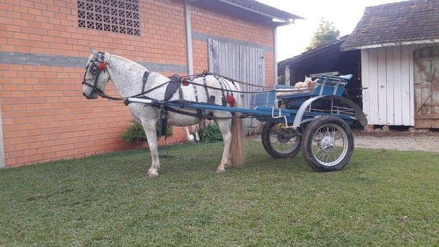 Cavalo de charrete E montaria  - Foto 2