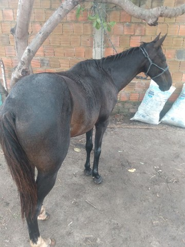 Vendo Cavalo ligeiro e estradeiro e bom pra prado - Foto 3