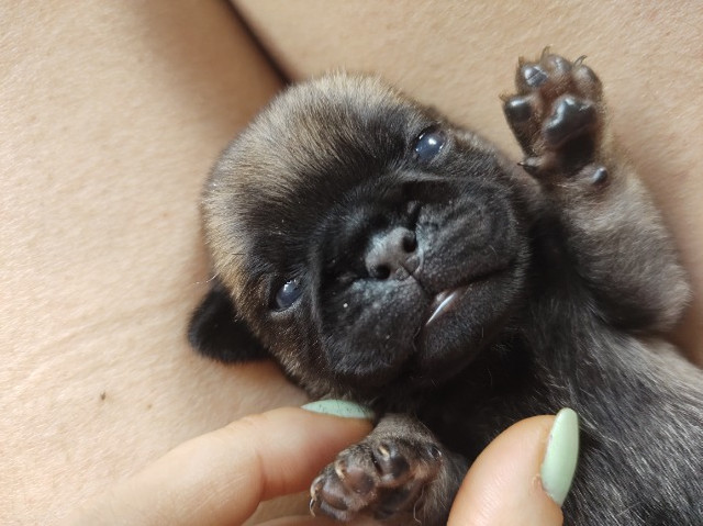 Filhotes Pug - Foto 2