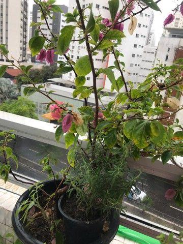 Hibiscos buganvília lírio d São José  Jasmim de cera  - Foto 3