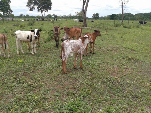 Fazenda c/ 500he c/ 315he formado, a 50km de Cuiabá-MT - Foto 17