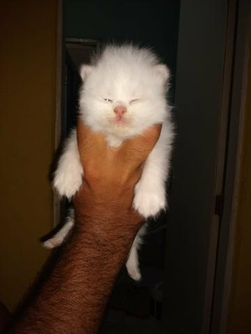 Vendo gato peça