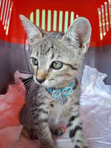 Adoção de gato filhote - Foto 4