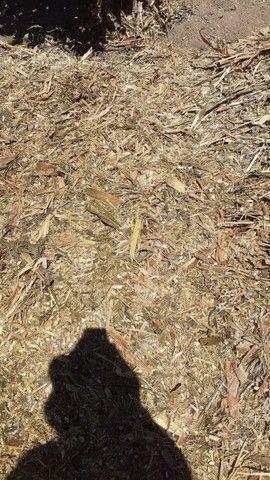 Silagem de milho  - Foto 5