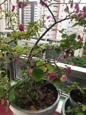 Hibiscos buganvília lírio d São José  Jasmim de cera  - Foto 2