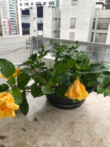 Hibiscos buganvília lírio d São José  Jasmim de cera  - Foto 5