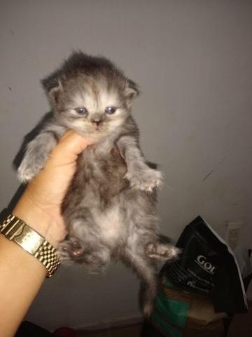 Vendo gato peça - Foto 2