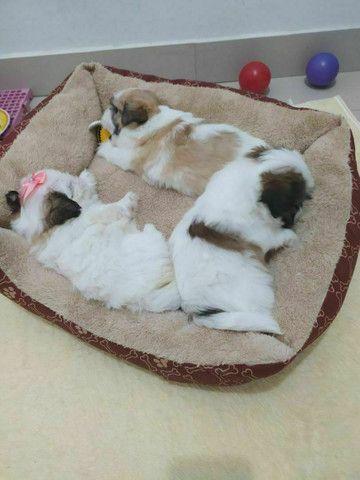 Lindos filhotes de mini Shih Tzu c acompanhamento veterinário grátis puros - Foto 4