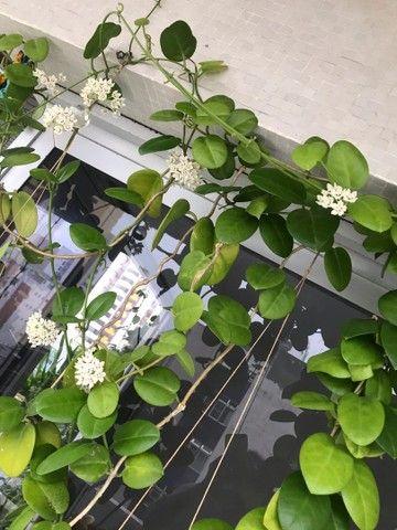 Hibiscos buganvília lírio d São José  Jasmim de cera  - Foto 6