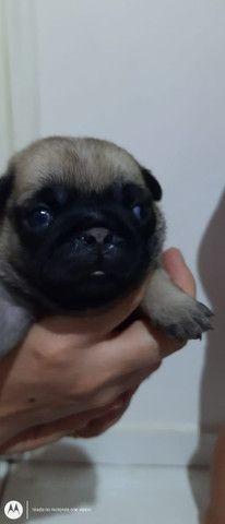 Filhote de Pug fêmea com pedigree